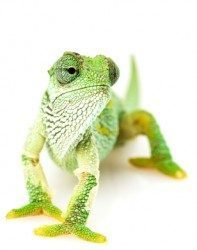 Business Chameleon